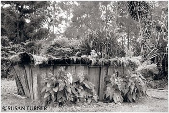 An Old House with Tobacco Plants